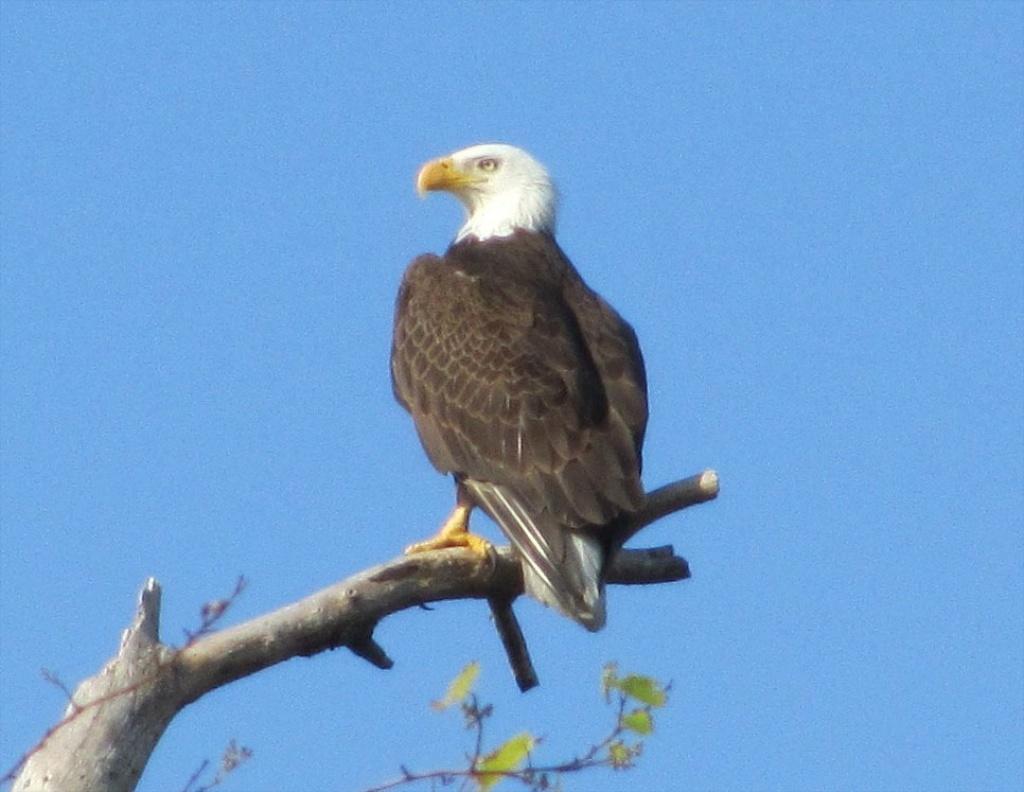 Community Wildlife-Bald Eagle